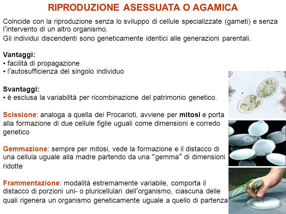 Propagazione vegetativa Le cormofite possono riprodursi per via agamica da parti della pianta (rami, foglie) o di organi metamorfosati (bulbi, bulbilli, tuberi ecc.).