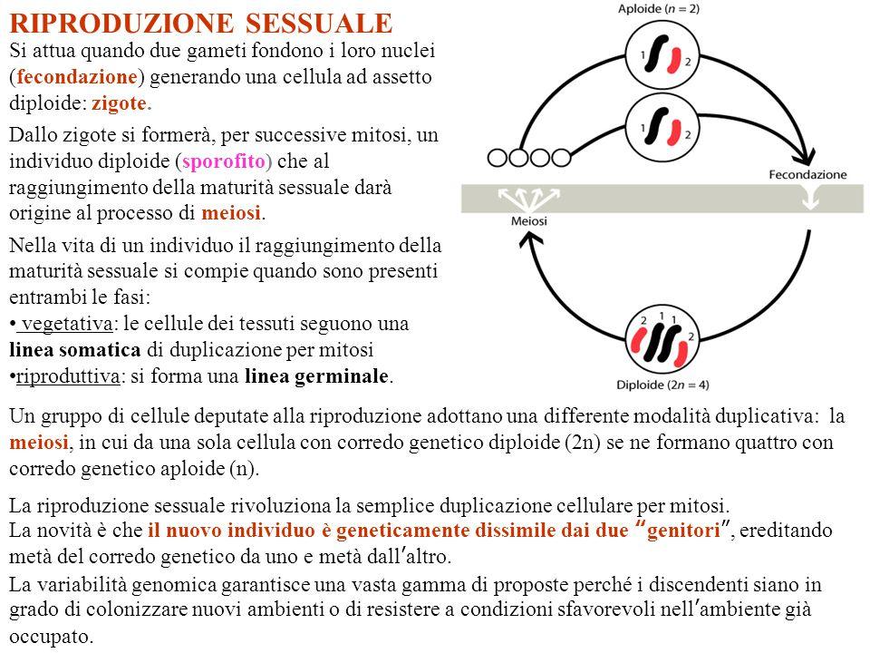 Cromosomi omologhi Ogni genitore fornisce un corredo cromosomico aploide (n).