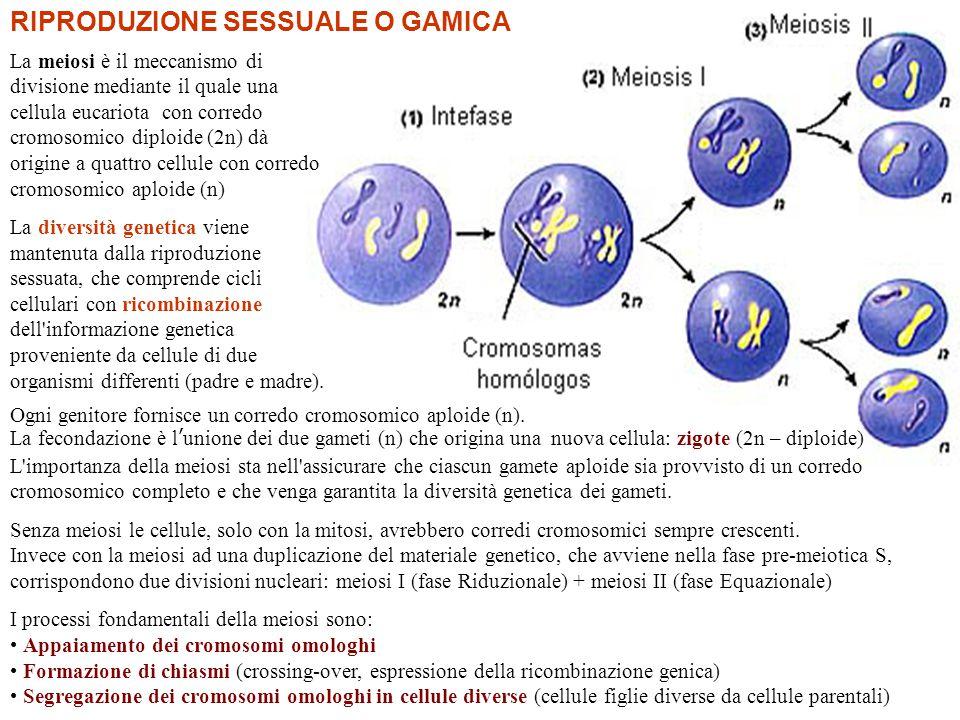 Profase I: i cromosomi omologhi si appaiono e si avvolgono: crossing-over Metafase I: i cromosomi omologhi sono trascinati dai microtuboli all equatore cellulare.