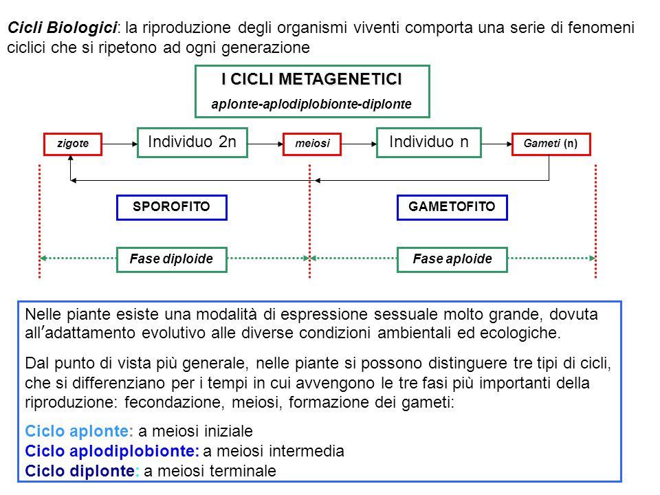 Clclo aplonte meiosi iniziale L'individuo 2n è limitato al solo zigote (cellula madre delle spore) che subisce subito meiosi dando origine a 4 spore aploidi.