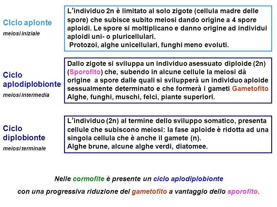 Clclo aplonte Lo zigote formato subisce meiosi iniziale, con la formazione di 4 cellule aploidi (spore) che moltiplicandosi genereranno un individuo apolide (gametofito).