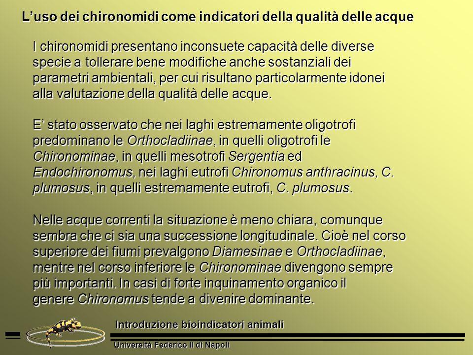 Università Federico II di Napoli Introduzione bioindicatori animali Luso dei chironomidi come indicatori della qualità delle acque Si catturano con retino entomologico o sono attirati con lampade.