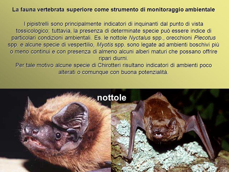 Università Federico II di Napoli Introduzione bioindicatori animali La fauna vertebrata superiore come strumento di monitoraggio ambientale Plecotus Plecotus auritus Myotis blythi