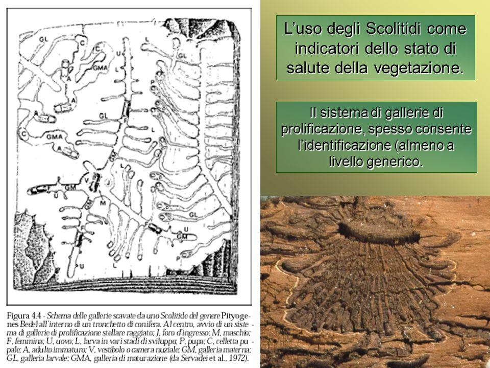 Università Federico II di Napoli Introduzione bioindicatori animali Luso degli Scolitidi come indicatori dello stato di salute della vegetazione Polygraphus sp.