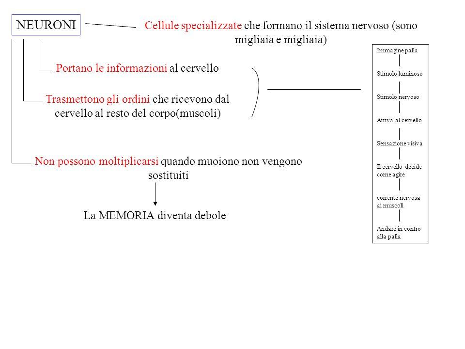 IL SISTEMA NERVOSO E' FORMATO DA 2 SISTEMI SISTEMA NERVOSO CENTRALE SNC SISEMA NERVOSO PERIFERICO ENCEFALO (centro di comando) MIDOLLO Riceve da ogni parte del corpo e invia gli ordini CERVELLO È formato da due emisferi Occupa i 4/5 dell'encefalo CERVELLETTO È formato da due emisferi divisi da un cordone detto VERME Occupa i 1/10 del cervello Sta nella parte posteriore del cervello TRONCO ENCEFALICO Collega l'encefalo al midollo E' il più piccolo È un cordone di fibre nervose che va dal tronco encefalico all'interno della COLONNA VERTEBRALE
