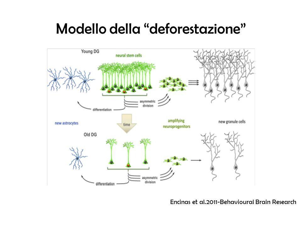 Meccanismi non-cell autonomous nella nicchia neurogenica Astrociti-cellule staminali neurali Wnt Recettori ANP Attivazione di β-catenina, proliferazione Dkk-1 Inibisce LRP6 (co- recettore di Wnt) Ridotta Neurogenesi