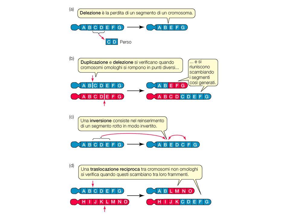 Delezione.Parte del cromosoma (e quindi delle basi del DNA) viene perduta.