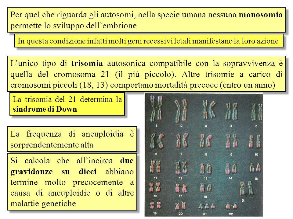 La sindrome di Down È di gran lunga la malattia genetica più frequente nelluomo (uno ogni 700 nati) Le persone affette dalla SD hanno 47 cromosomi e nonostante il cromosoma 21 sia quello con meno geni, la sua trisomia altera notevolmente il fenotipo Tratti caratteristici del volto Bassa statura Difetti cardiaci Ritardo mentale Senescenza precoce Predisposizione alla leucemia e alla malattia di Alzheimer Letà media è inferiore ai 30 anni Geni che predispongono a queste patologie sono stati localizzati sul cromosoma 21
