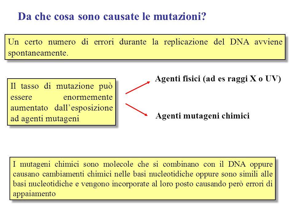 I diversi tipi di mutazioni Mutazioni geniche (o puntiformi) Mutazioni geniche (o puntiformi) Mutazioni cromosomiche Mutazioni cromosomiche Mutazioni nel numero dei cromosomi Mutazioni nel numero dei cromosomi Mutazioni nella struttura Mutazioni nella struttura