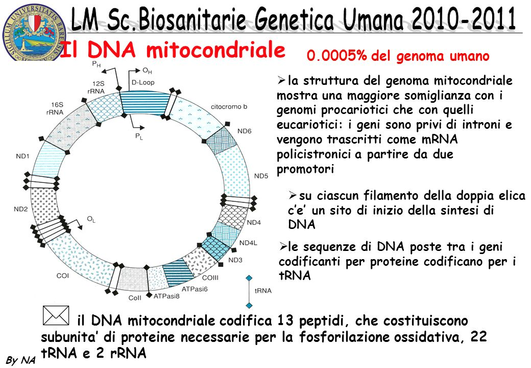 By NA * sebbene la maggior parte delle proteine mitocondriali siano codificate da geni nucleari, alcune di esse sono codificate da geni mitocondriali e le mutazioni a loro carico possono condurre a difetti del metabolismo energetico * la fosforilazione ossidativa richiede piu di 60 proteine, la maggior parte di esse codificate nel nucleo e trasportate nel mitocondrio Il DNA mitocondriale