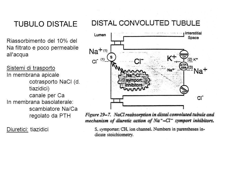 BENZOTIAZIDI (tiazidici) Clortalidone, quinetazone, indapamide Provocano perdita NaCl e K (da aumento vol urina) Dotati anche di attività antiipertensiva per azione non renale Acidi e quindi secreti attivamente in tubulo prox (blocco da probenecid) Maggior sito d azione molecolare: blocco cotrasporto Na Cl elettroneutro in tubulo distale Causano perdita di K, associare risparmiatori di K Riducono escrezione renale Ca (meccanismo.
