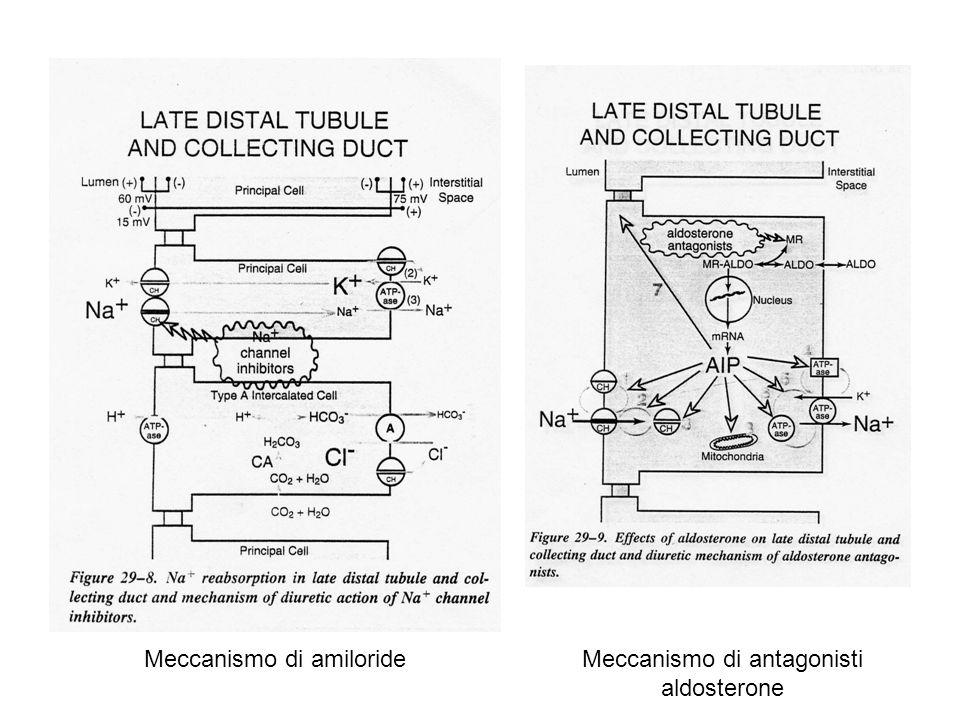 DIURETICI RISPARMIATORI DI K Attivi sul recettore dei mineralcorticoidi: spironolactone Inibitori influsso Na via canale: triamterene e amiloride Aldosterone: controlla la secrezione di K in funzione della velocità d arrivo di Na nei dotti aumentando Na/KATPasi e canali Na e K (si crea potenziale (-) transluminale che aumenta secrezione K e H) Triamterene e amiloride: Inibitori dell influsso: azione diretta sui canali e (ad alte dosi) sul trasportatore Na/H USO:iperaldosteronismo primario o secondario a insuff cardiaca, cirrosi, nefrosi e riduzione vol plasm perdita di K da diuretici TOX:iperkaliemia: pericolosa in presenza di farmaci o situazioni che riducono liberazione di renina Acidosi metabolica ipercloremica