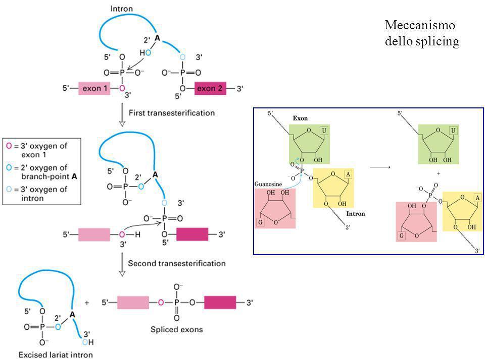 U2AF arly U2AF si lega al tratto pirimidinico a valle del sito di ramificazione snRNP U2 si lega al sito di ramificazione (richiesta idrolisi ATP) Arg-Ser le prot SR connettono U2Af con snRNP U1 si legano insieme snRNP U5 si lega al 5ss, snRNP U6 si lega a snRNP U2 snRNP U1 è rilasciato, snRNP U5 si sposta dallesone allintrone, snRNP U6 si lega al 5ss snRNP U4 è rilasciato (richiesta idrolisi ATP), snRNP U6 e U2 catalizzano la transesterificazione, snRNP U5 si lega al 3ss, il 5 ss è tagliato e si forma il cappio il 3ss è tagliato e gli esoni vengono saldati insieme, il cappio verrà deramificato