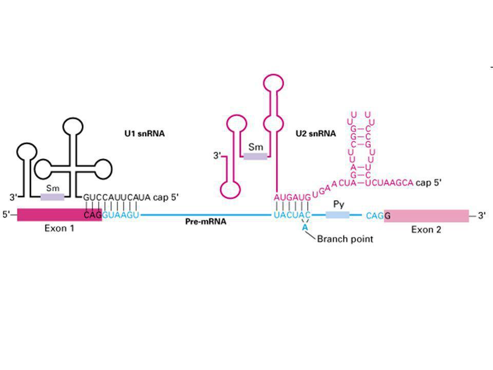 si appaia al sito di ramificazione Sm protein snRNP U2 si appaiano con snRNA U6