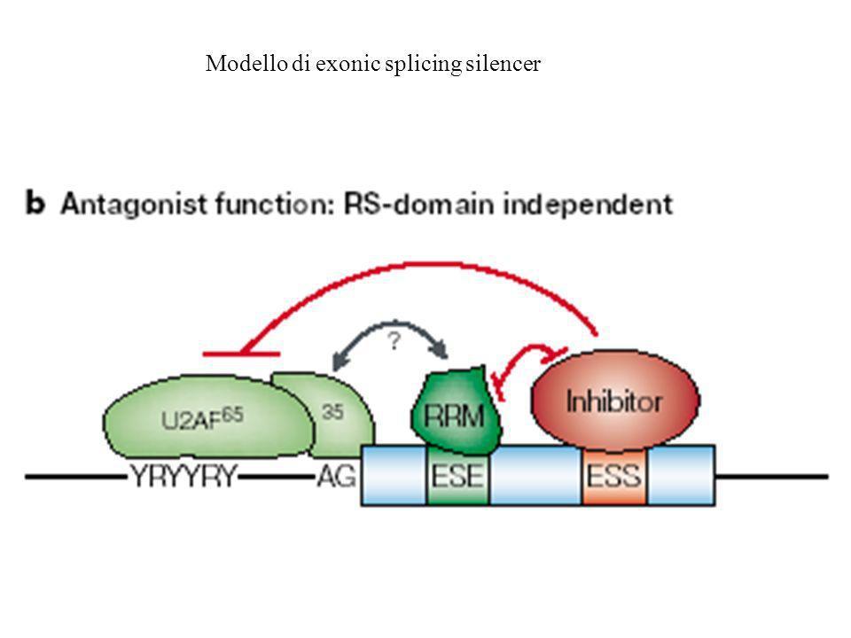 Ricombinazione e splicing alternativo In presenza di una struttura interrotta, mutazioni neutre possono originare nuove forme di alternative splicing senza distruggere le forme funzionali già esistenti.