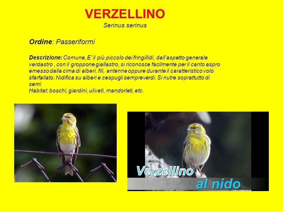 CARDELLINO Carduelis carduelis Ordine: Passeriformi Descrizione: Laspetto è caratteristico con macchie gialle e nere sulle ali e faccia rossa.
