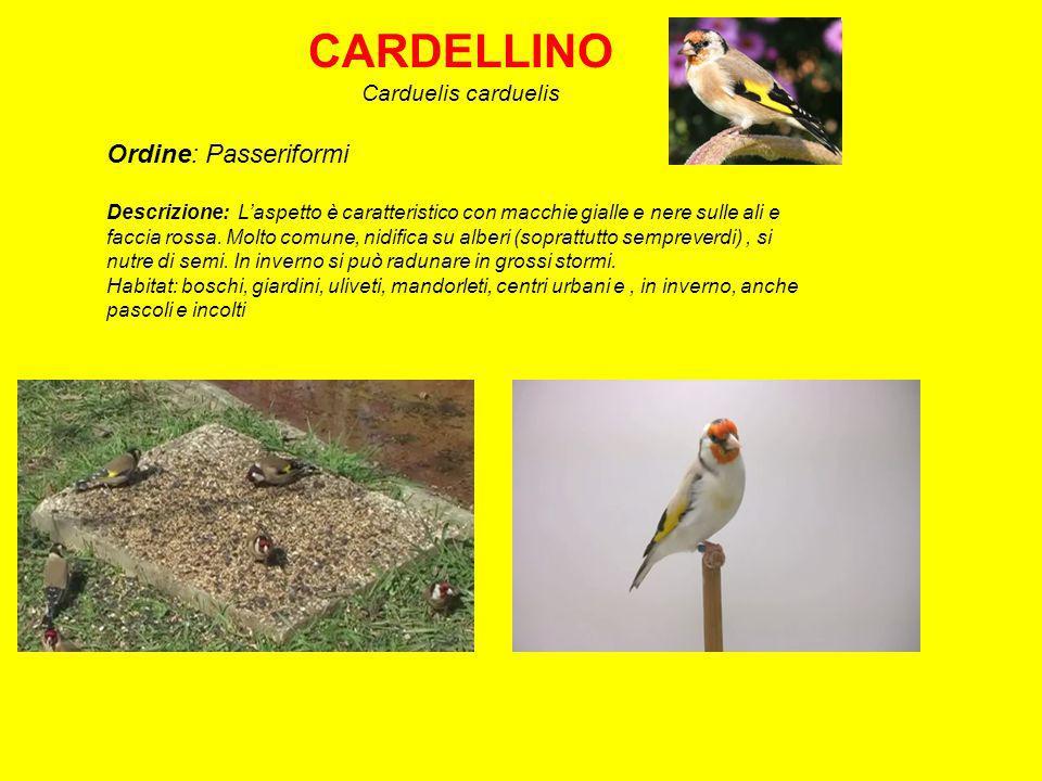 GHIANDAIA Garrulus glandarius Ordine: Passeriformi Descrizione: Comune.