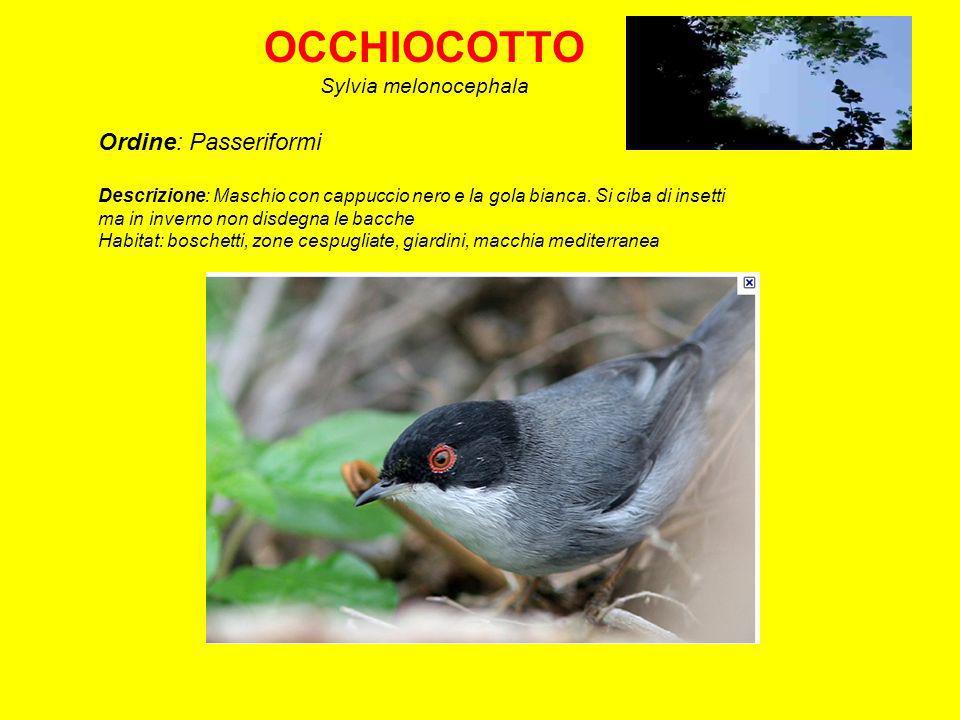 CAPINERA Sylvia atricapilla Ordine: Passeriformi Descrizione: ll maschio possiede un cappuccio nero, mentre la femmina lo ha marrone.
