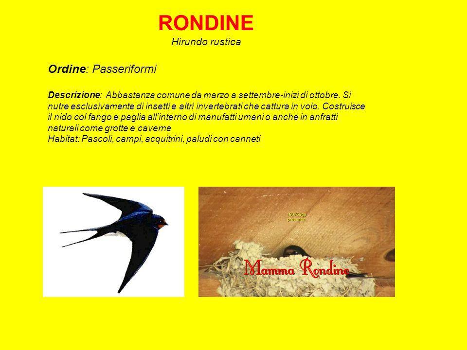 CAPPELLACCIA Galerida cristata Ordine: Passeriformi Descrizione: La più diffusa delle allodole presente durante tutto lanno, riconoscibile per la cresta.