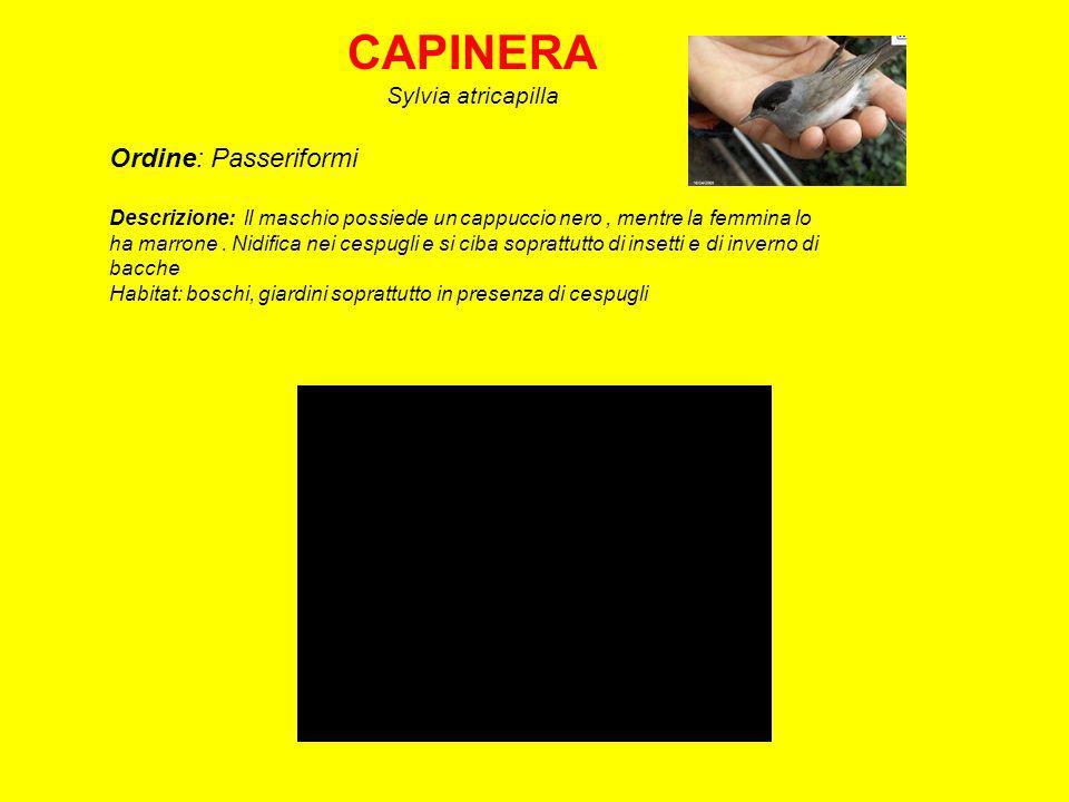 PASSERA DITALIA Passer italiae Ordine: Passeriformi Descrizione: Comune.