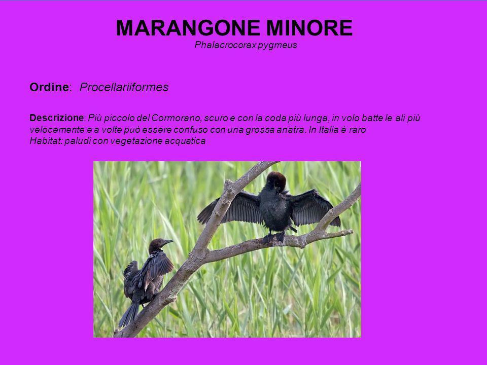 CORMORANO Phalacrocorax carbo Ordine: Procellariiformes Descrizione: Comune.