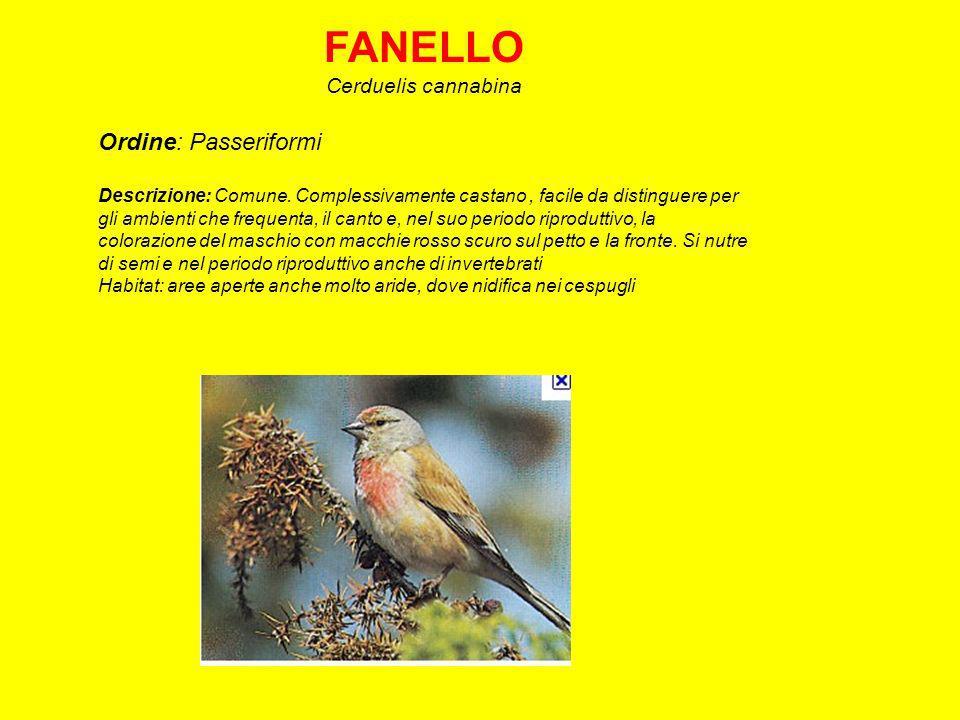 CINCIARELLA Parus caeruleus Ordine: Passeriformi Descrizione: La più comune delle cince insieme alla Cinciallegra, si distingue da questa per le dimensioni minori e il piumaggio azzurro superiormente.