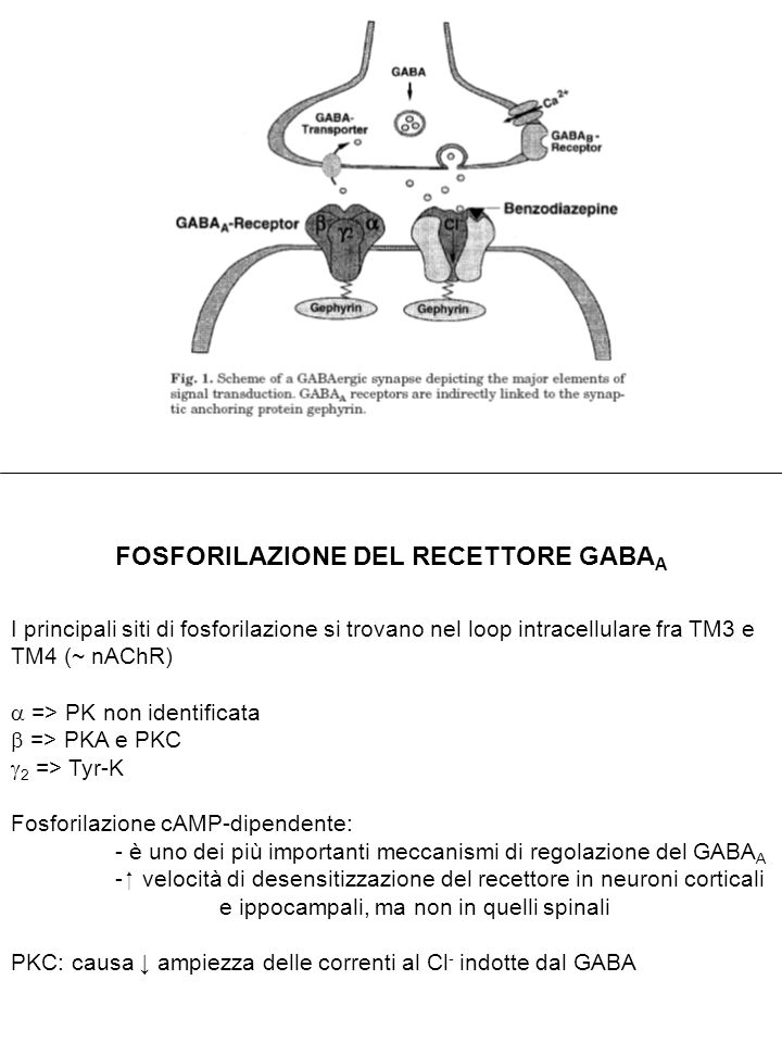 RECETTORI GABA B ETERODIMERO: GABA B1 + GABA B2 (si legano a livello del dominio C-terminale intracellulare) GABA B1 e GABA B2  7TM C-terminale intracellulare Lungo dominio N-terminale extracellulare Il GABA si lega alla porzione extracellulare della subunità GABA B1 => modifica conformazionale del recettore => accoppiamento della subunità GABA B2 alle proteine G Funzioni GABA B2 : accoppiamento con effettori corretta localizzazione di GABA B1 (nella membrana) Distribuzione del recettore GABA B : Talamo Corteccia Strato molecolare del cervelletto Corna dorsali del midollo spinale Ippocampo (cellule piramidali e giro dentato) SN e VTA (<) Cellule gliali Gangli, utero, testicolo, cell muscolari lisce, fegato, etc.