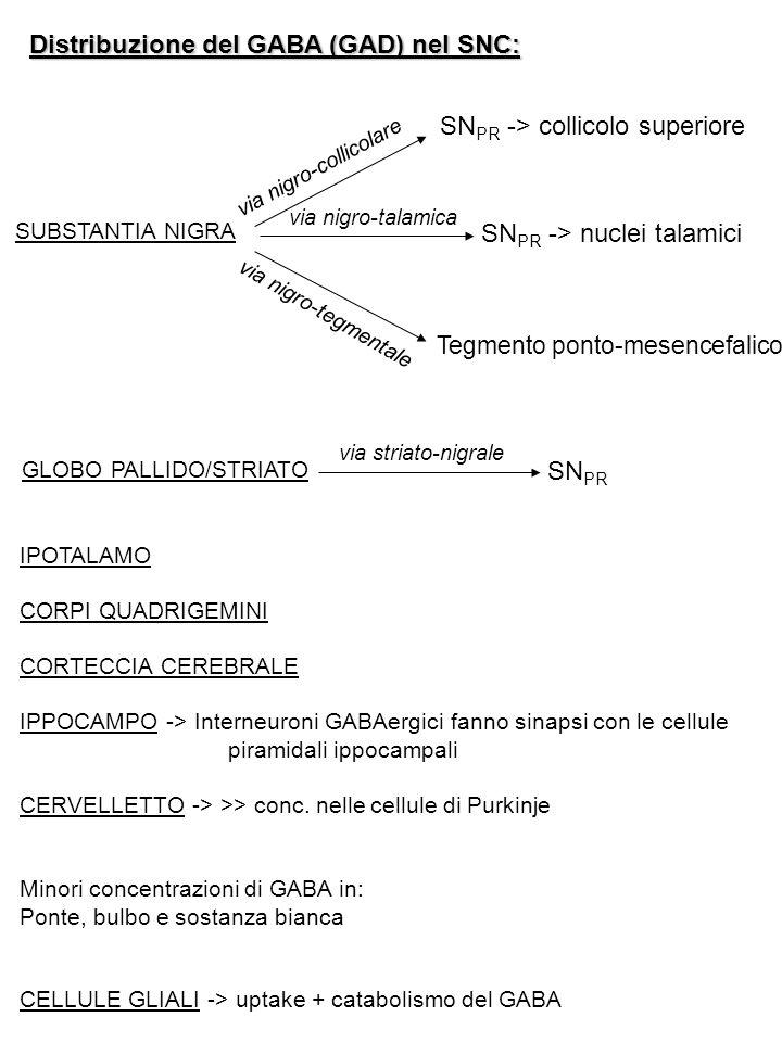 RECETTORI DEL GABA GABA A  recettore-canale permeabile al Cl - AG: muscimolo, isoguvacina AT: bicucullina (competitivo), picrotossina (non comp.) Modulatori: BDZ e barbiturici GABA B  recettore accoppiato a proteine G AG: baclofen, CGP44532 AT: faclofen, CGP35348, CGP36742 Modulatori: Ca 2+ (↑ affinità del GABA x il rec.