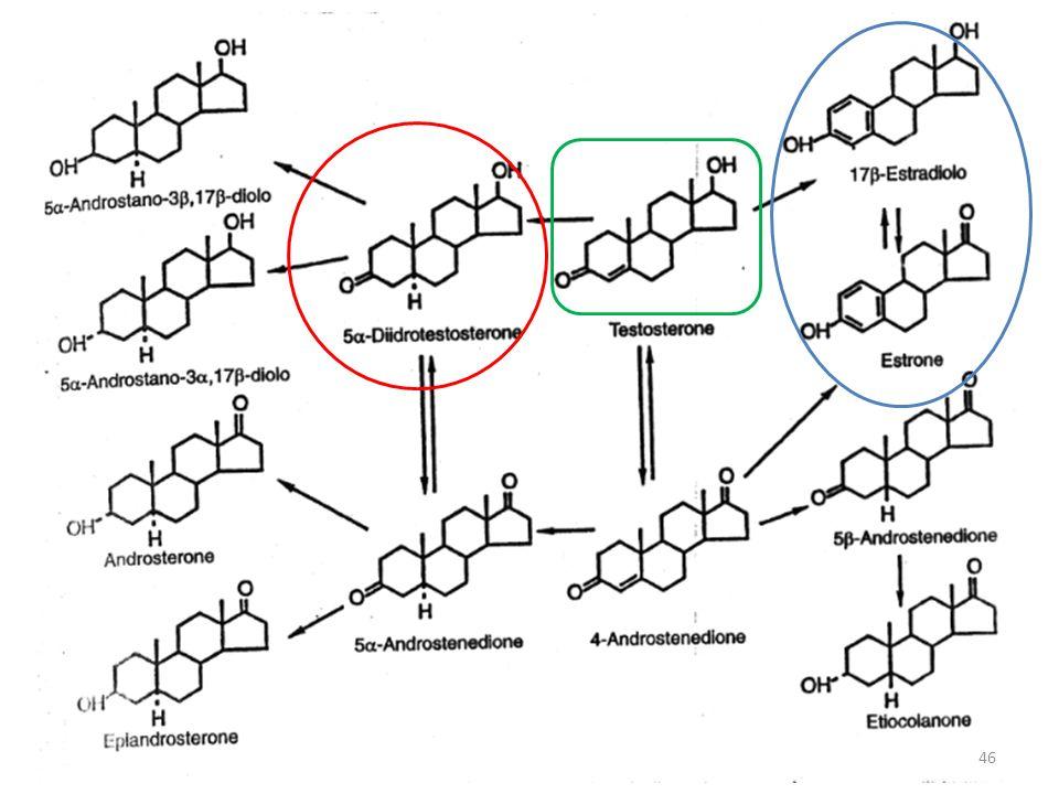 Meccanismo dazione del testosterone Diffonde nelle cellule bersaglio E metabolizzato a diidrotestosterone dall enzima 5 -reduttasi (forma con massima attività) Si lega a recettori citoplasmatici Il complesso attivo trasloca nel nucleo legandosi a livello del DNA in regioni promotrici (siti di fattori di trascrizione) e modifica la trascrizione genetica 47