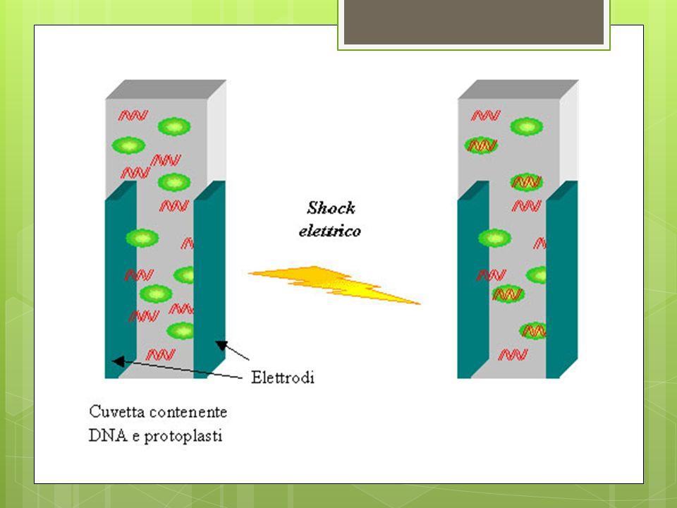 In seguito allelettroporazione le cellule o i protoplasti vengono fatti crescere in coltura prima di iniziare la selezione delle cellule che hanno integrato il DNA.