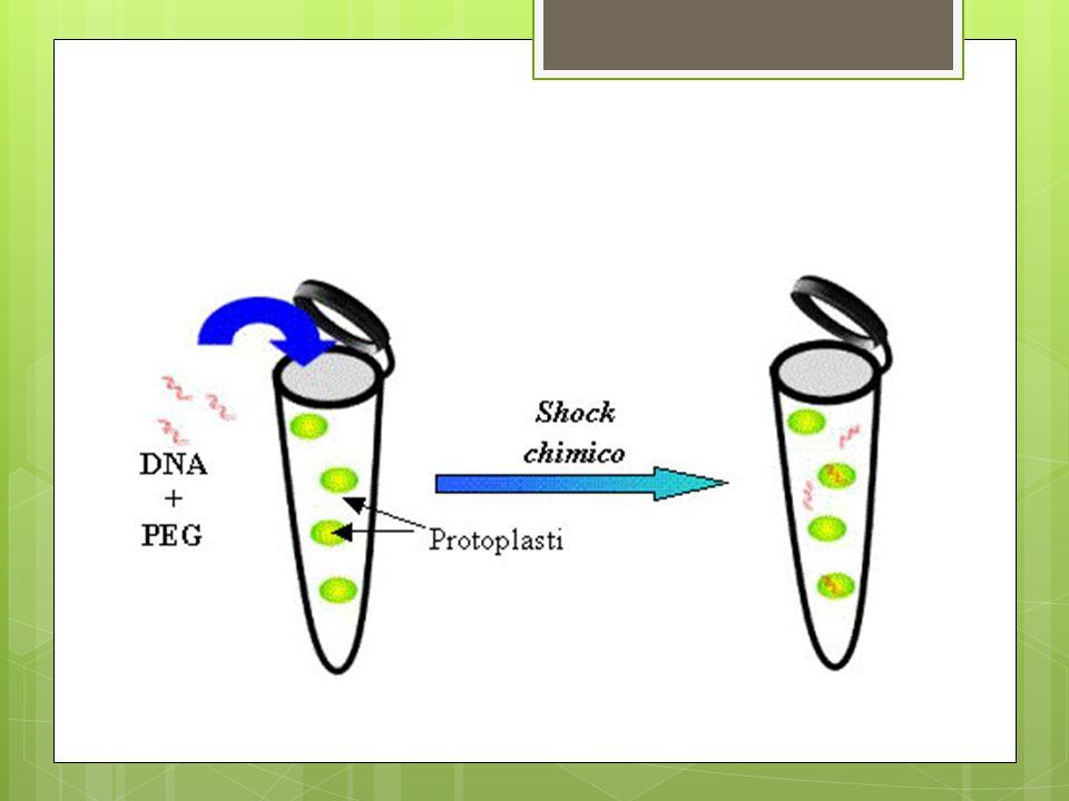 Utilizzo di Agrobacterium Per il trasferimento di geni nelle cellule vegetali si è utilizzato, come primo vettore, il batterio Agrobacterium tumefaciens, che veicola il plasmide Ti, che ha la caratteristica di integrarsi efficientemente entro i cromosomi della pianta, la quale accoglierà così i geni nuovi precedentemente inseriti in questo plasmide.