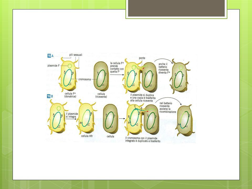 Microiniezione Questa tecnica prevede linserimento, tramite una microsiringa, di piccole quantità di DNA, in genere un picolitro (10 -12 litri), in una cellula animale.