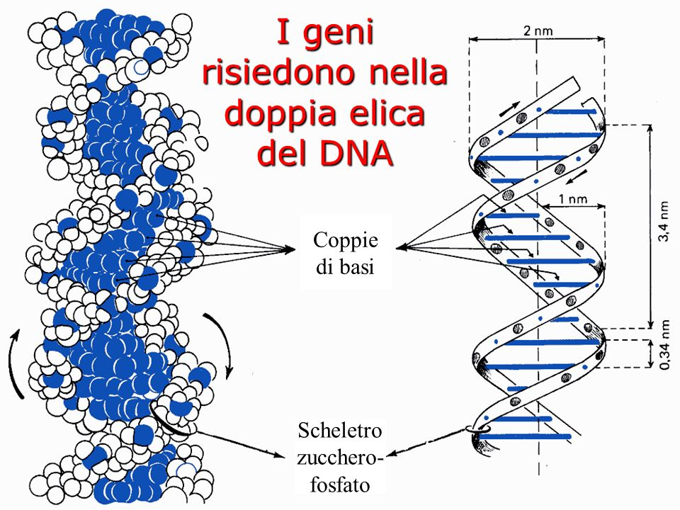 Acido desossiribonucleico Il segreto del DNA risiede nella sua struttura…