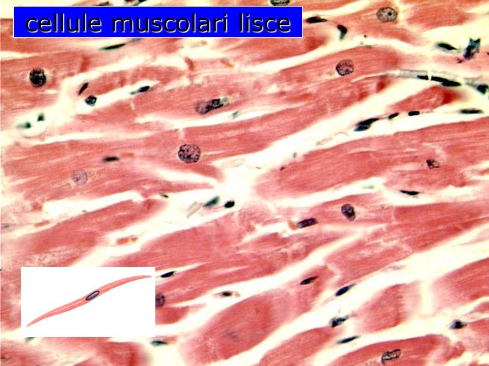 cellula dellosso