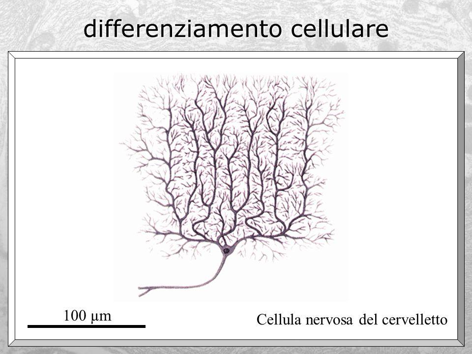 differenziamento cellulare Adipocita 100 µm