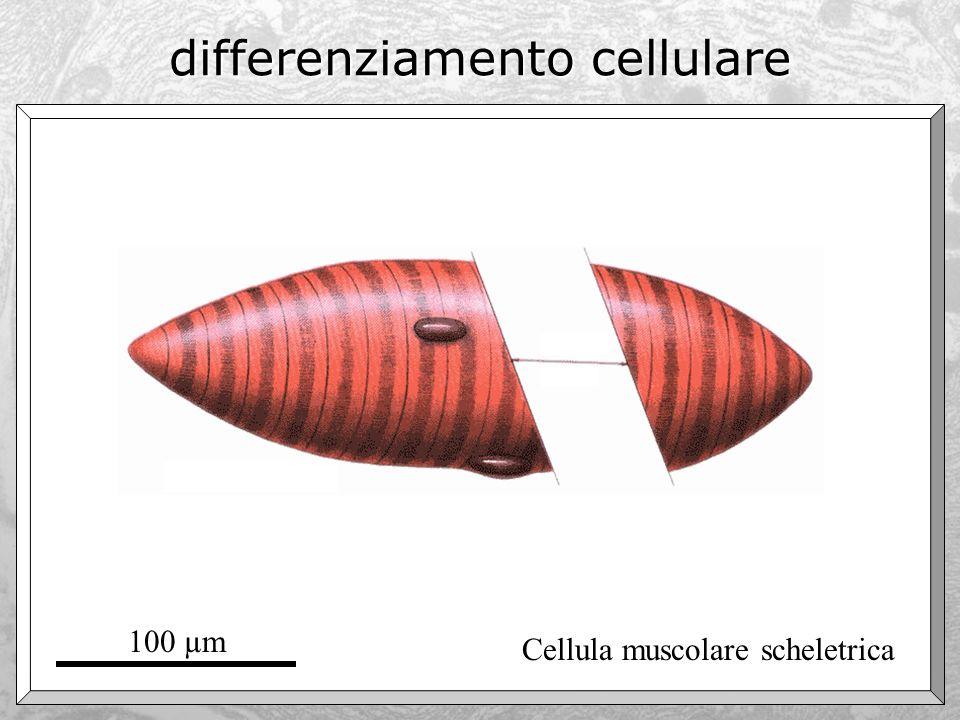 Ma allora, le cellule sono tutte completamente diverse fra loro? Sì e no…