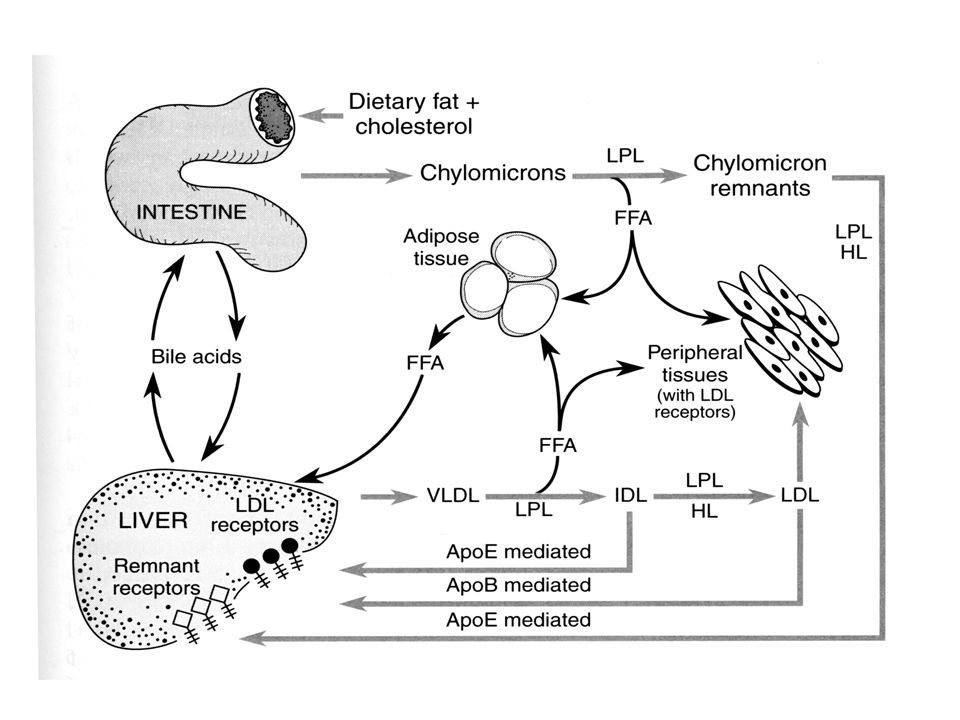 STATINE inibitori della HMG-CoA reduttasi HmgCoa------//-------> mevalonato diminuzione sintesi epatica colesterolo aumento compensatorio livelli di reduttasi (soprattutto extraepatici): tende a ristabilire la sintesi di colesterolo aumento compensatorio livelli di recettore LDL-----> aumento clearance particelle con apoB-100 produzione di VLDL ad alterata composizione diminuzione colesterolo LDL non efficaci in soggetti omozigoti per deficit di recettori LDL