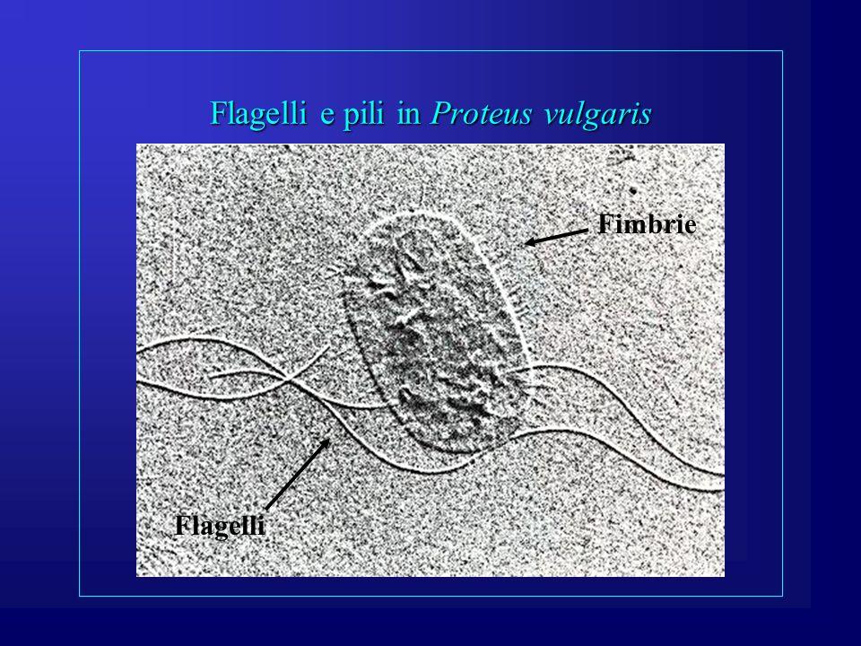 Flagelli e pili (funzione) Flagelli: consentono la mobilità cellulare.