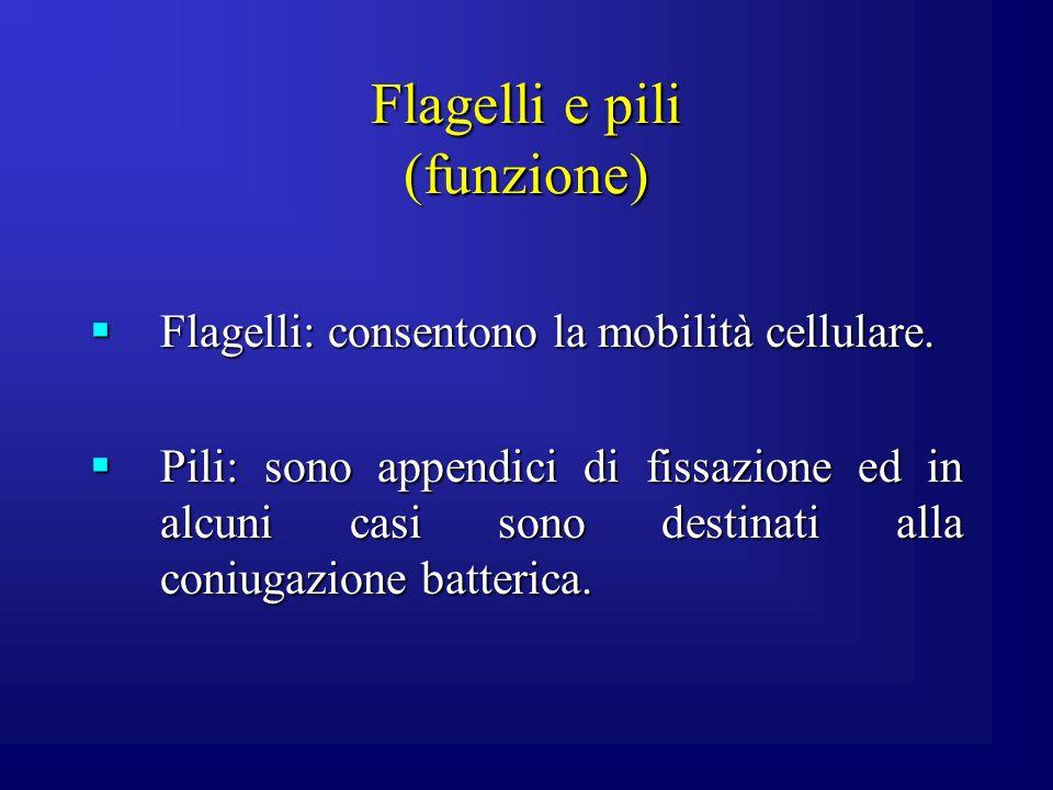 Flagelli (caratteri generali) I flagelli sono formati da tre parti: struttura basale, filamento ed uncino.