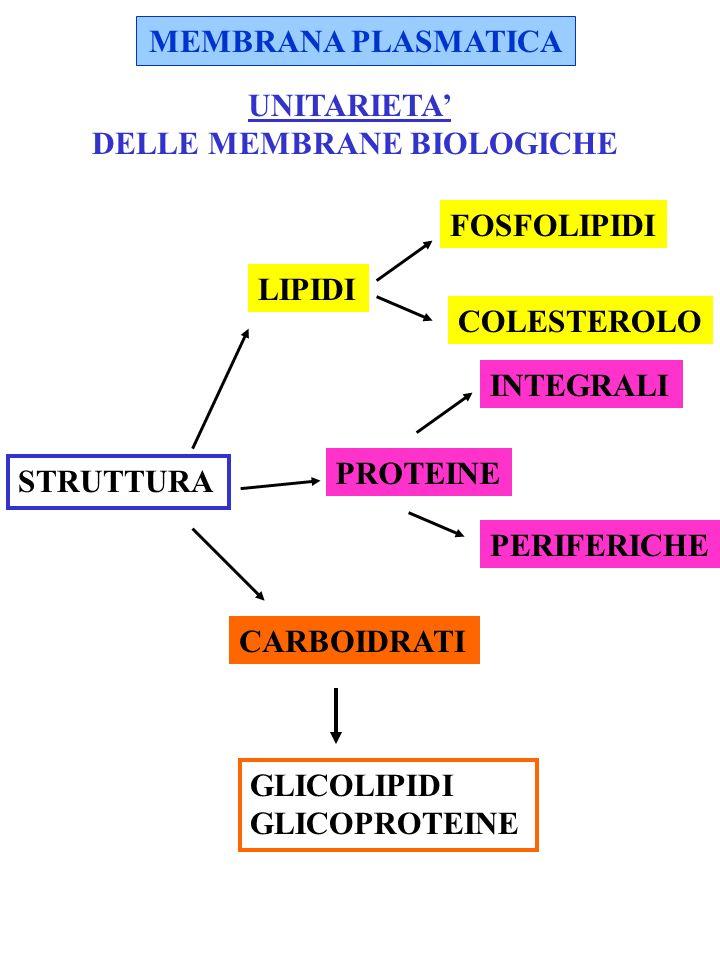 FOSFOLIPIDI molecole anfipatiche GLICEROFOSFOLIPIDI AC.GRASSO GLICEROLO P COMPOSTO IDROFILICO SFINGOMIELINA LIPIDI AC.GRASSO SFINGOSINA AC.GRASSO P FOSFORIL COLINA