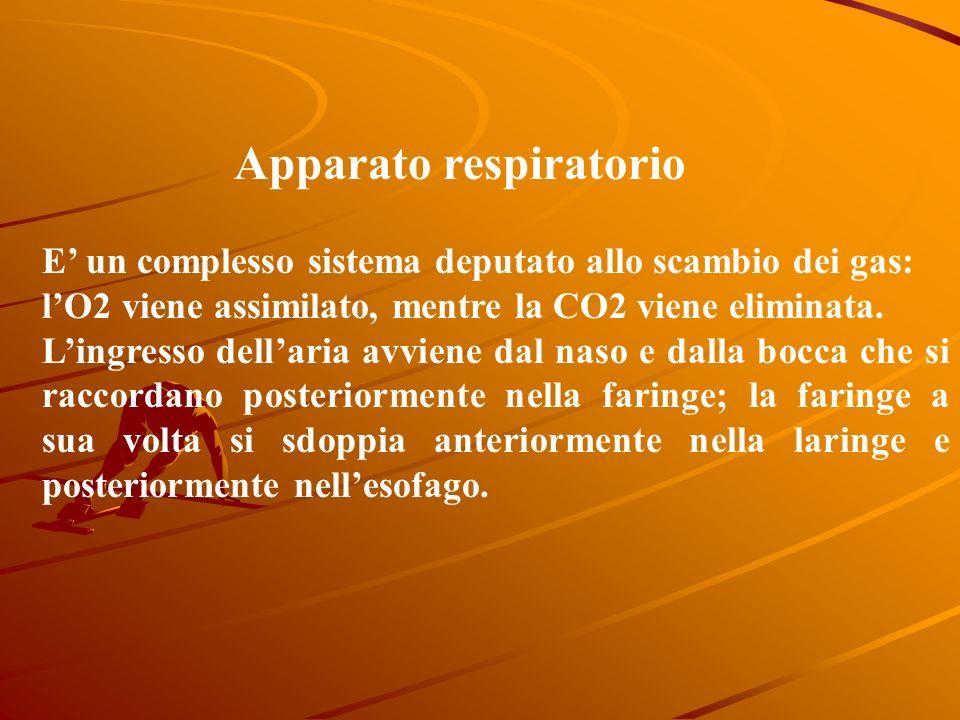 Apparato respiratorio E un complesso sistema deputato allo scambio dei gas: lO2 viene assimilato, mentre la CO2 viene eliminata.