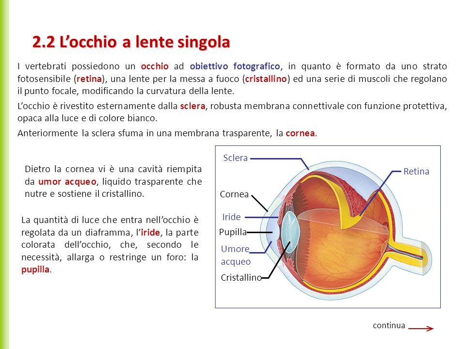 Dietro la pupilla vi è il cristallino, lente biconvessa formata da fibre proteiche trasparenti, attaccata a fibre muscolari che ne variano la curvatura.