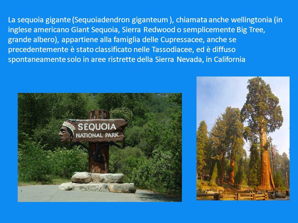 LE DIMENSIONI DELLA SEQUOIA Le sequoie giganti sono gli alberi più grandi del mondo in termini di volume: più massicce delle sequoie della California (Sequoia sempervirens) ma meno alte rispetto a queste.