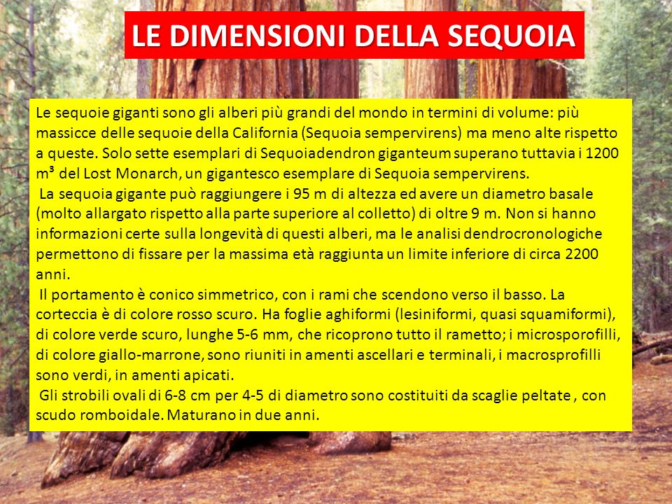 UTILIZZO DELLA SEQUOIA Il legno della sequoia gigante è molto resistente alla decomposizione, ma è fibroso e fragile, il che lo rende inadatto a uso edile.