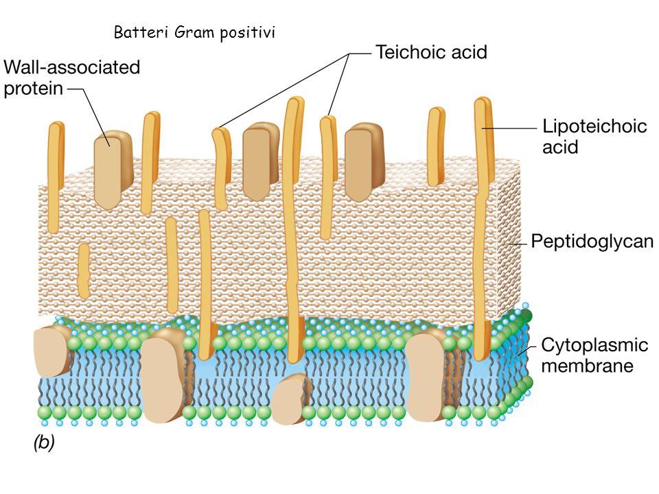 Organizzazione della parete dei Gram -negativi Membrana esterna