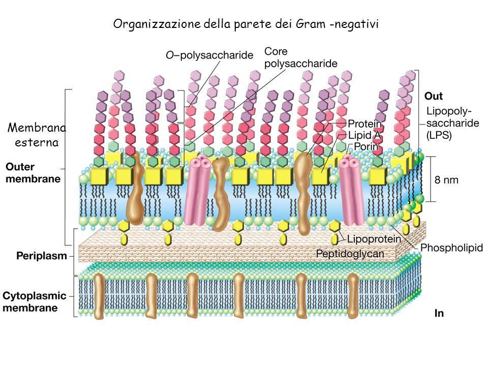 Struttura del LIPOPOLISACCARIDE (LPS) Zuccheri insoliti: Hep= Eptosio KDO= Ketodeossioctonico Zuccheri Regione variabile ANTIGENE O LIPIDE A CORE POLISACCARIDICO