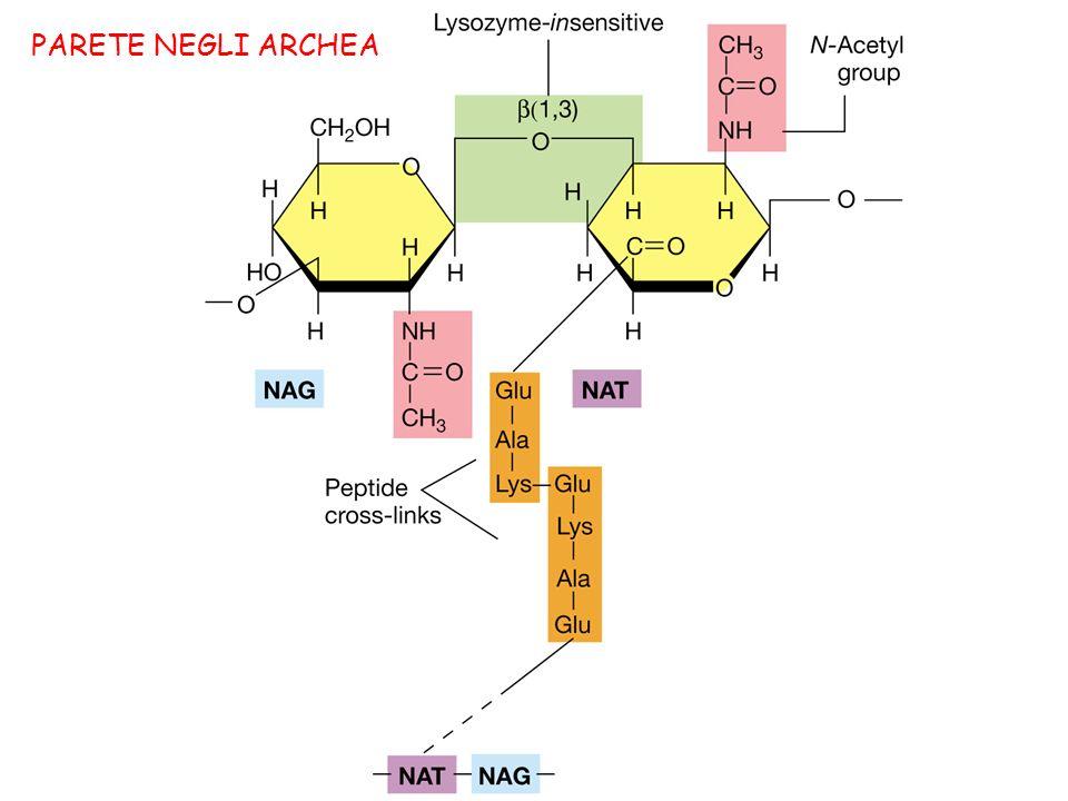 Oltre al peptidoglicano, la parete dei batteri acidi-alcool resistenti come Mycobacterium contiene grandi quantità di glicolipidi come acidi micolici, complessi arabinogalactano-lipidi, e lipoarabinomannano.