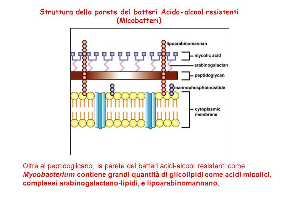 Membrana citoplasmatica dei batteri