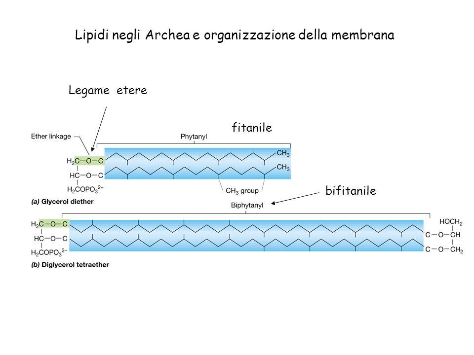 Lipidi negli Archea e organizzazione della membrana Monostrato lipidico