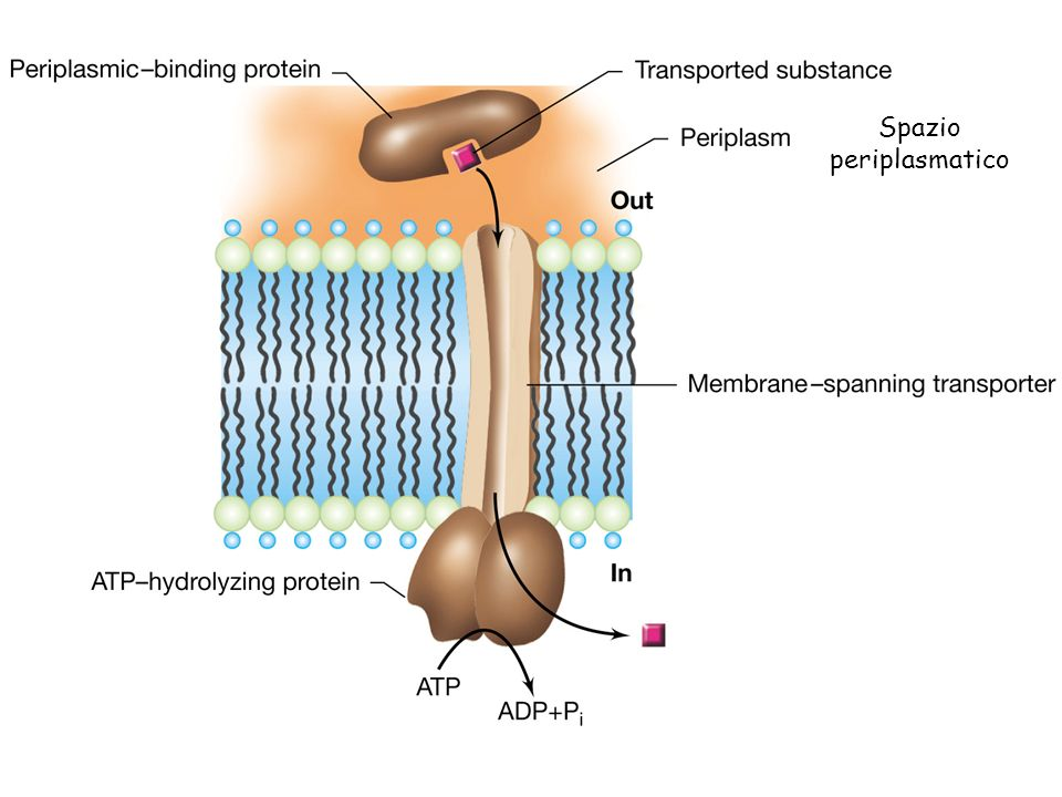 Strutture accessorie della cellula batterica Flagelli Pili Capsula, sostanze polimeriche extracellulari